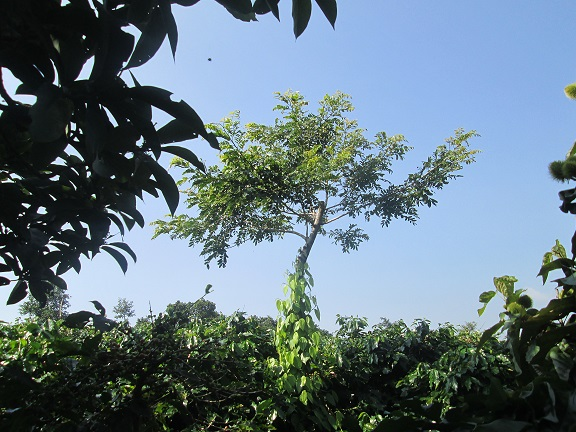 Shade trees protect coffee plants against climate change impacts