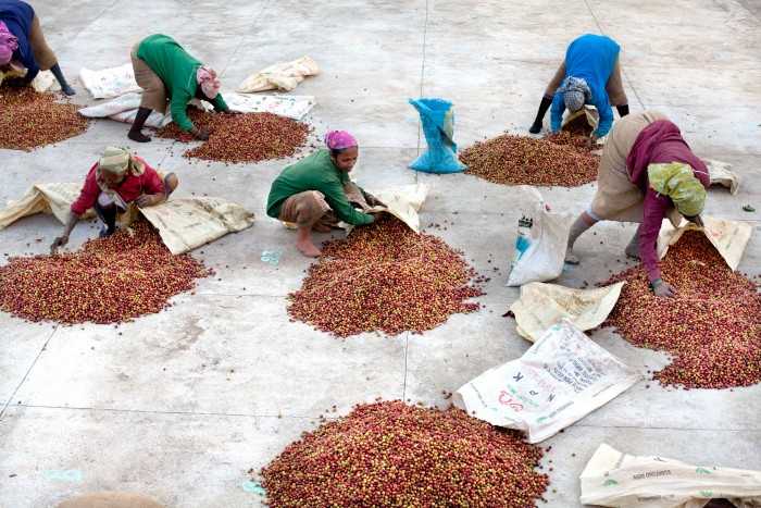 Coffee harvest in India