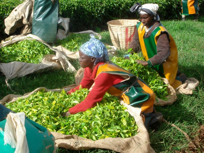 Tea_Kenya_selectingleafs