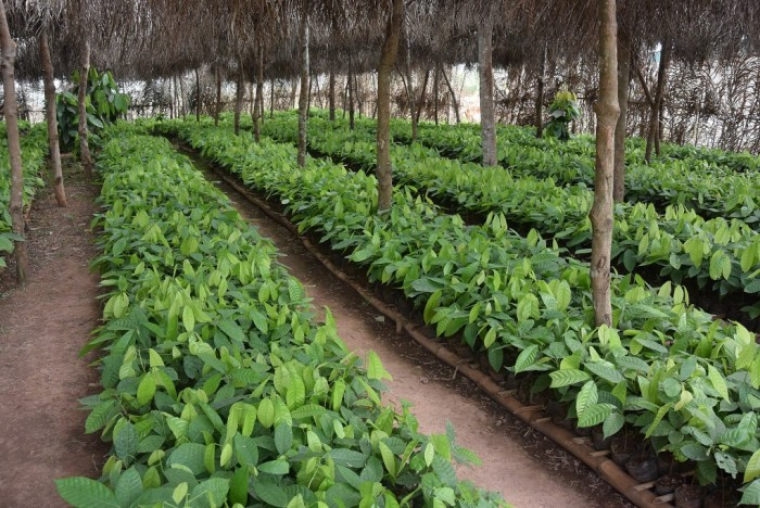 Nursery of 'Mercedes' cocoa trees, in Côte d'Ivoire