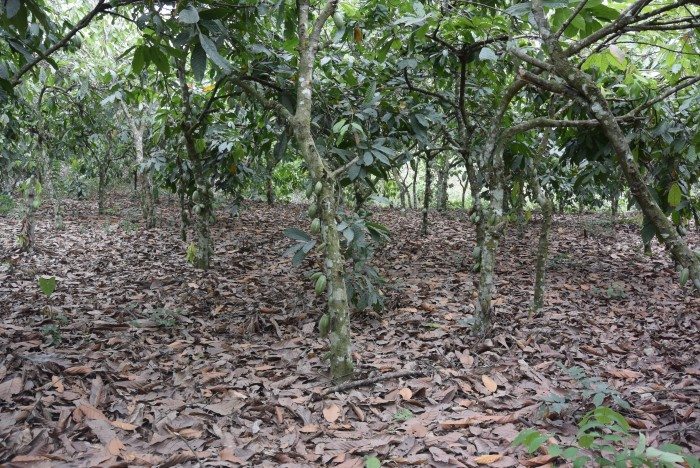 James' tidy cocoa growing area, with only leaves on the ground.