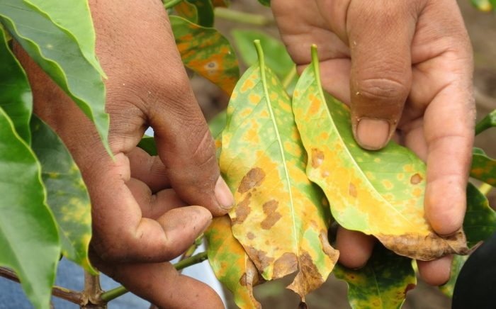 Fungal disease leave rust or roya affecting coffee plants