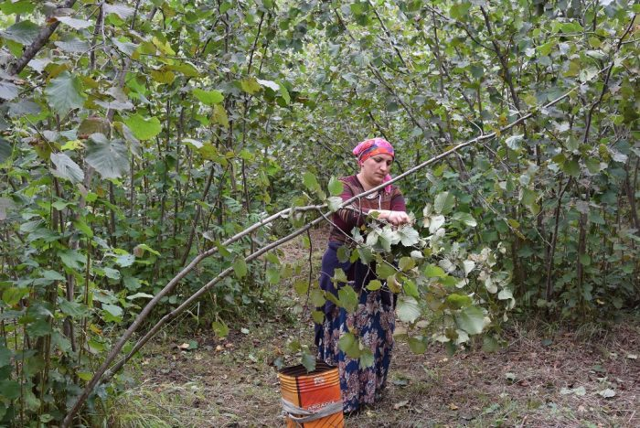 Female farmer during hazelnut harvest