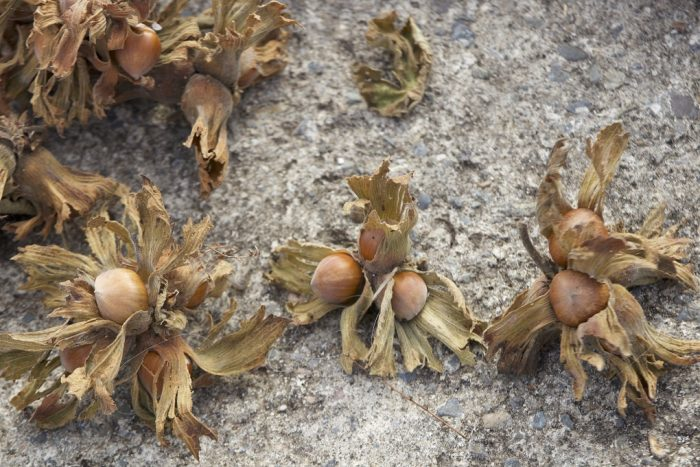 Hazelnuts in their husks