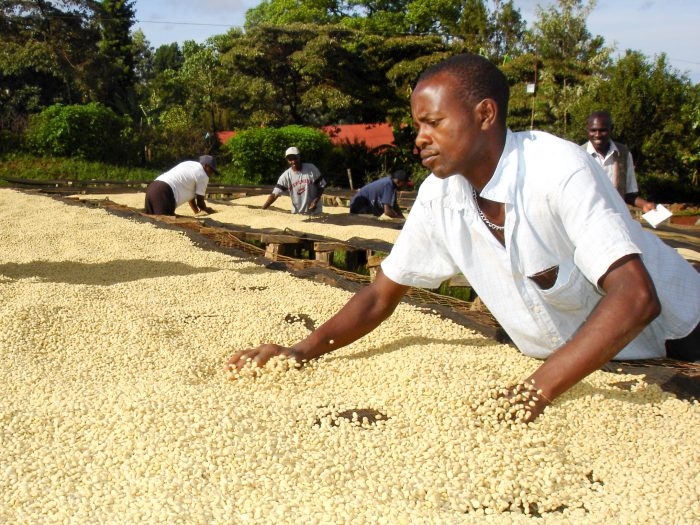 Coffee dry process in Kenya