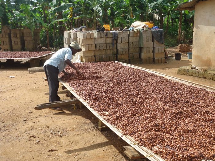 Drying cocoa at Abrobapa cocoa association,Ghana