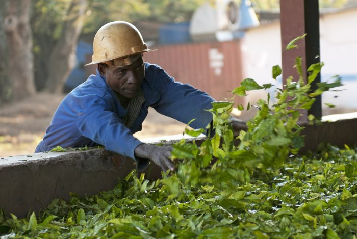 Tea processing at Satemwa estate, Malawi